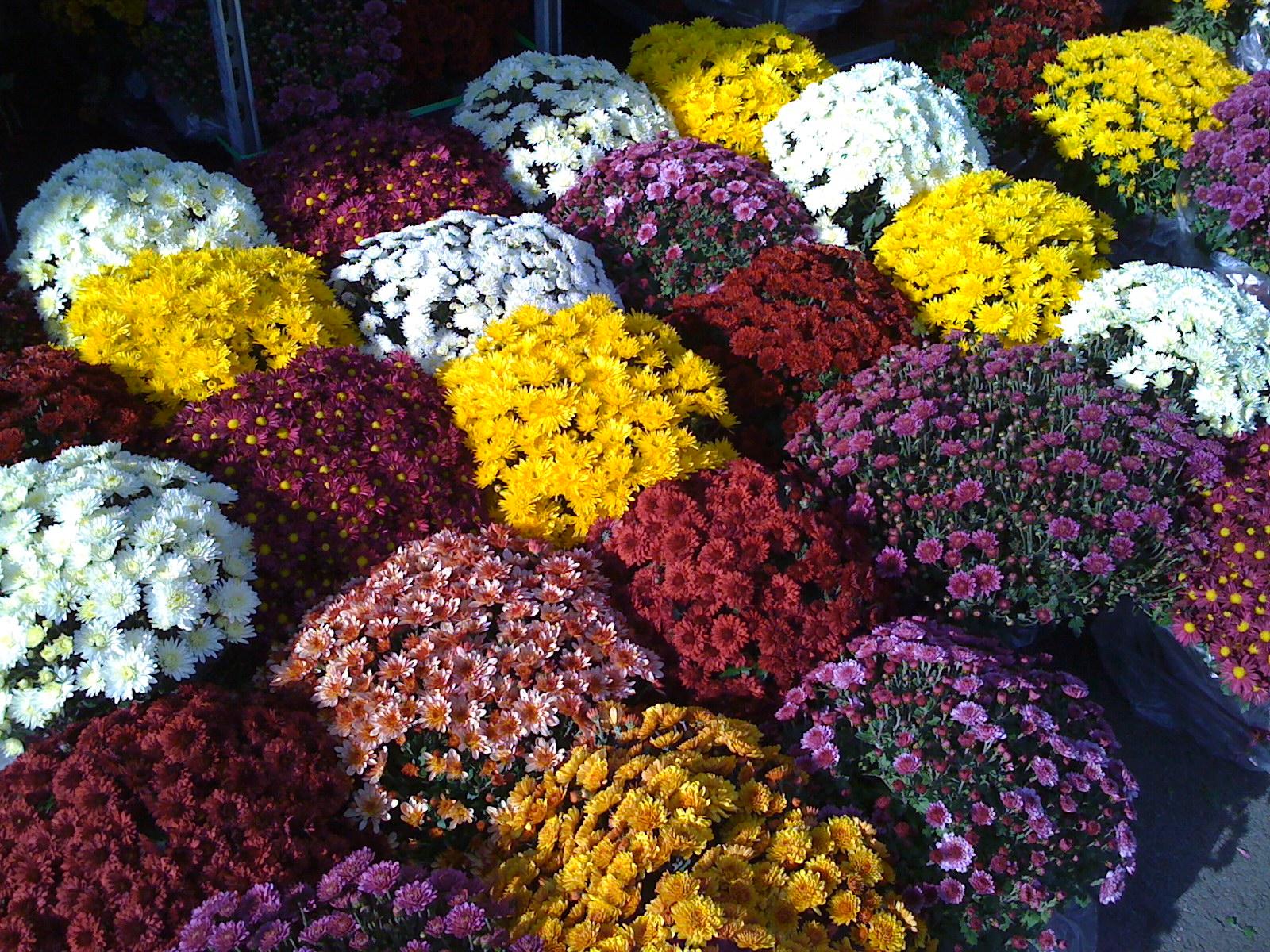 toussaint chrysanth mes 4 90 multifleurs la rochelle et salles sur mer. Black Bedroom Furniture Sets. Home Design Ideas
